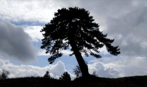 lone-hilltop-pine
