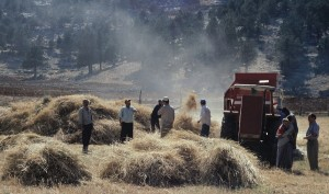 nr-kasimlar-wheat
